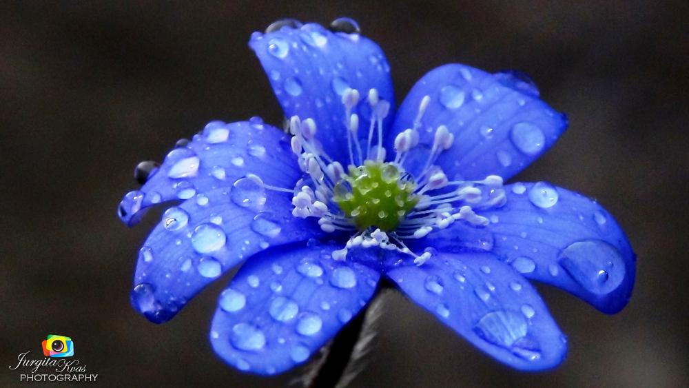 spring flower by Jurgita Kvaseliene