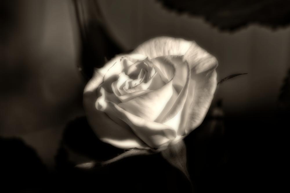 rose by Andrea Källner