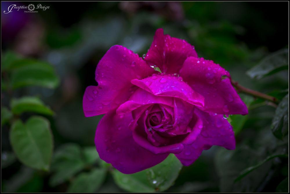 Purple Rose by inceptivebydesign
