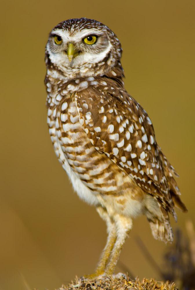 Burrowing Owl  by scotthelfrichphotography7