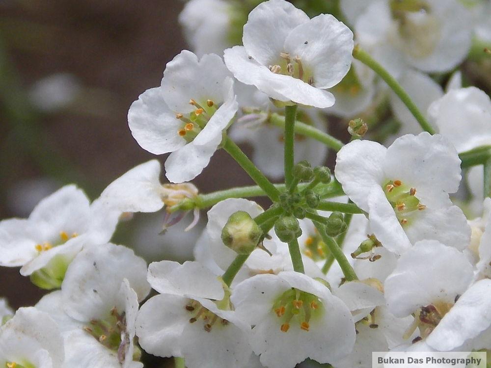 Alisma Flower by BukanDas
