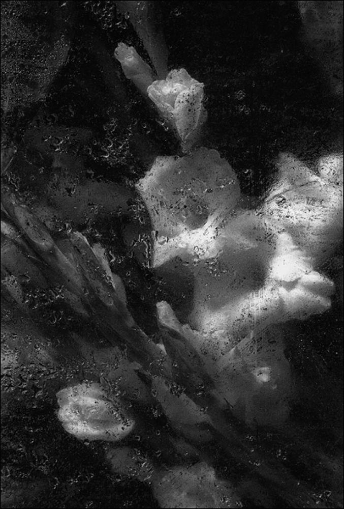 Wet Gladioli by robertullmann2