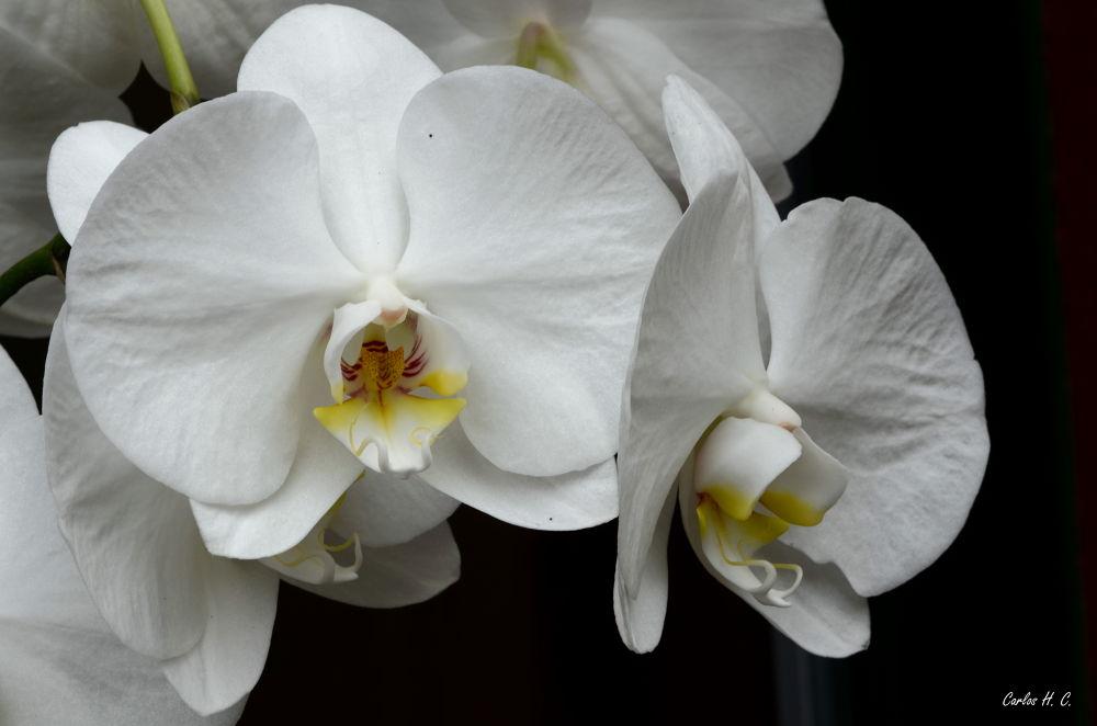 Orchid by CarlosHCamacho