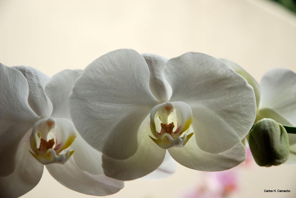 Orquid by CarlosHCamacho