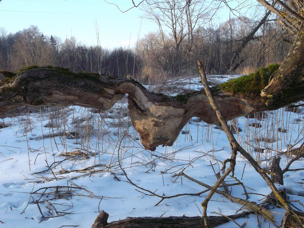 beavers work by Zita Užkuraitiene