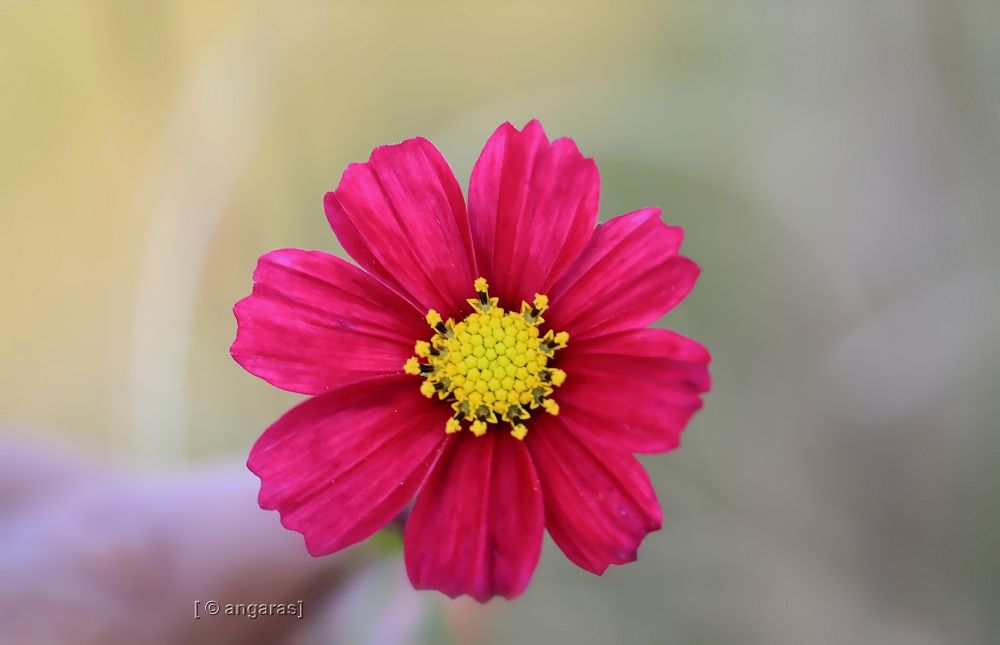 cosmos red  by angaras