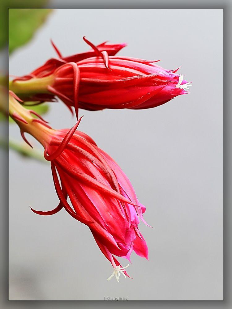 Cactus  bud  by angaras