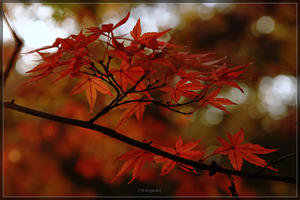 Fall Leaves  by angaras