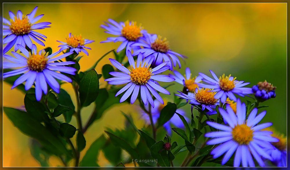 blue daisy at Rikugiuien by angaras