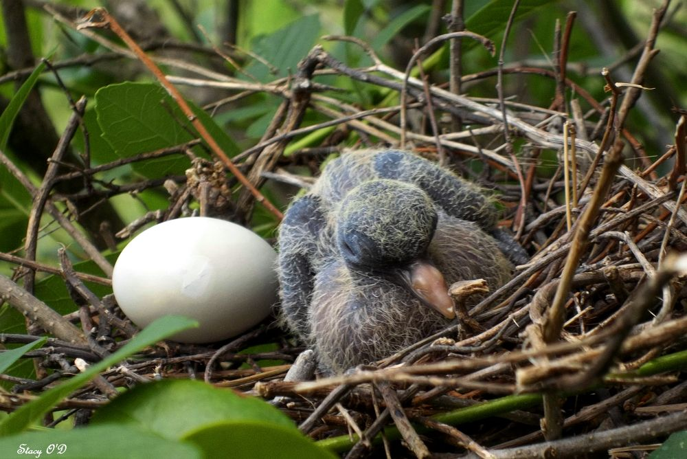 Baby dove  by Stacy O'Donnell