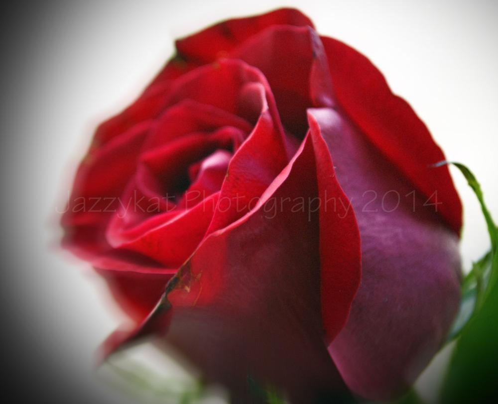 Mothers Day Rose 2014 by Debbie Bridges