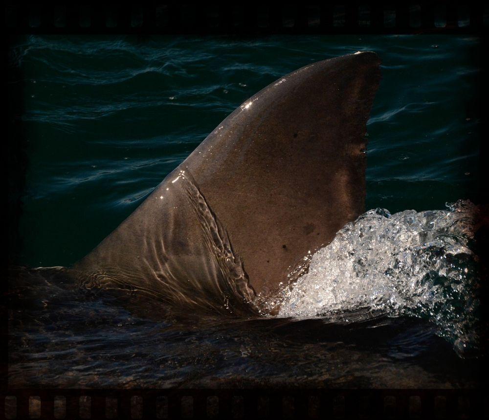 The shark Fin  by DAZZAN