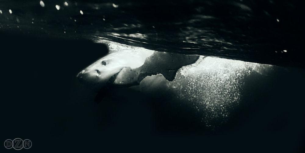 Photo in Animal #great #white #shark #seal #island