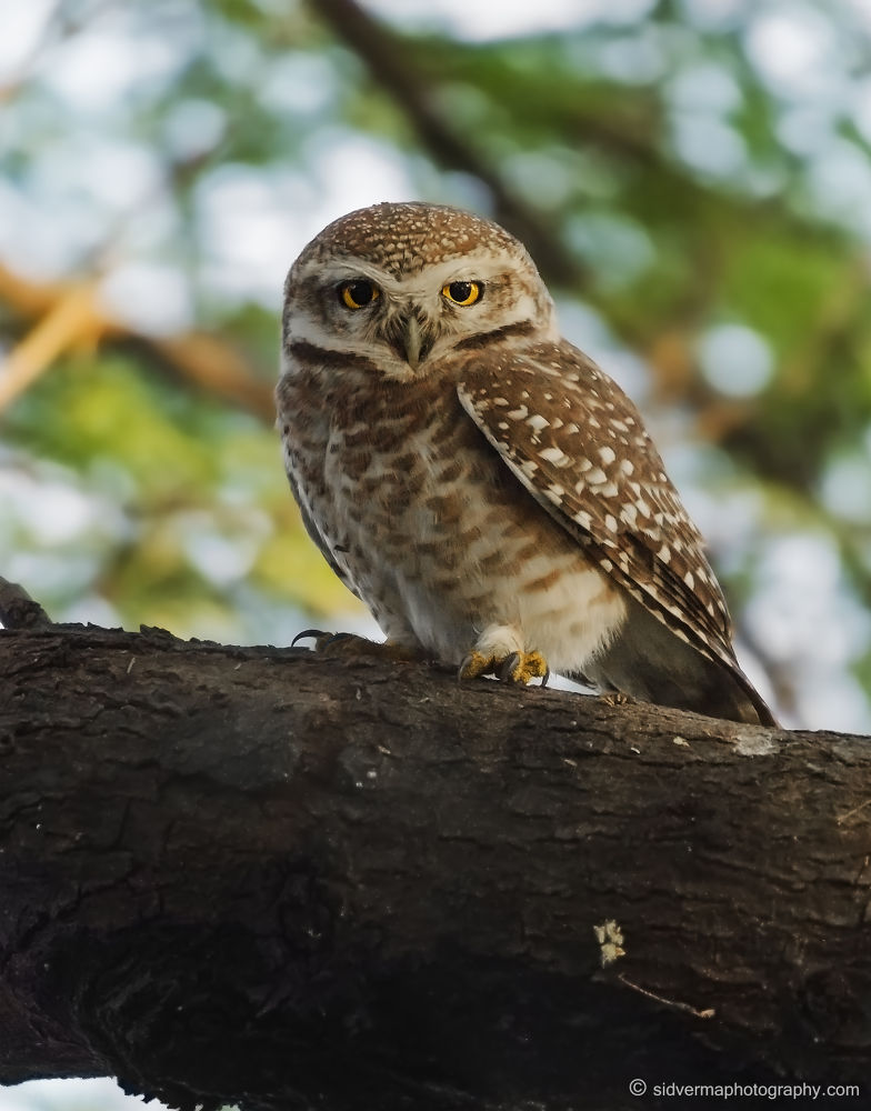 Spotted Owlet by vermasid