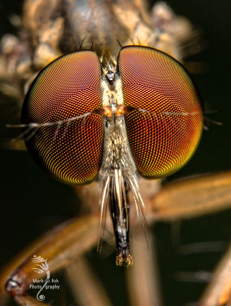 Robberfly Eyes by Mark