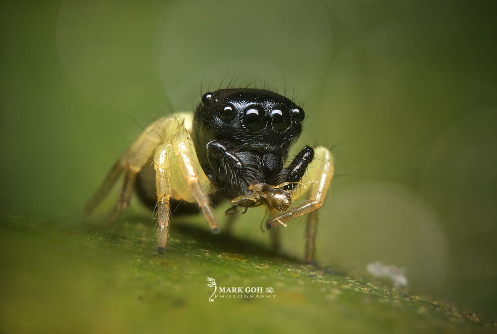 Jumping Spider by Mark