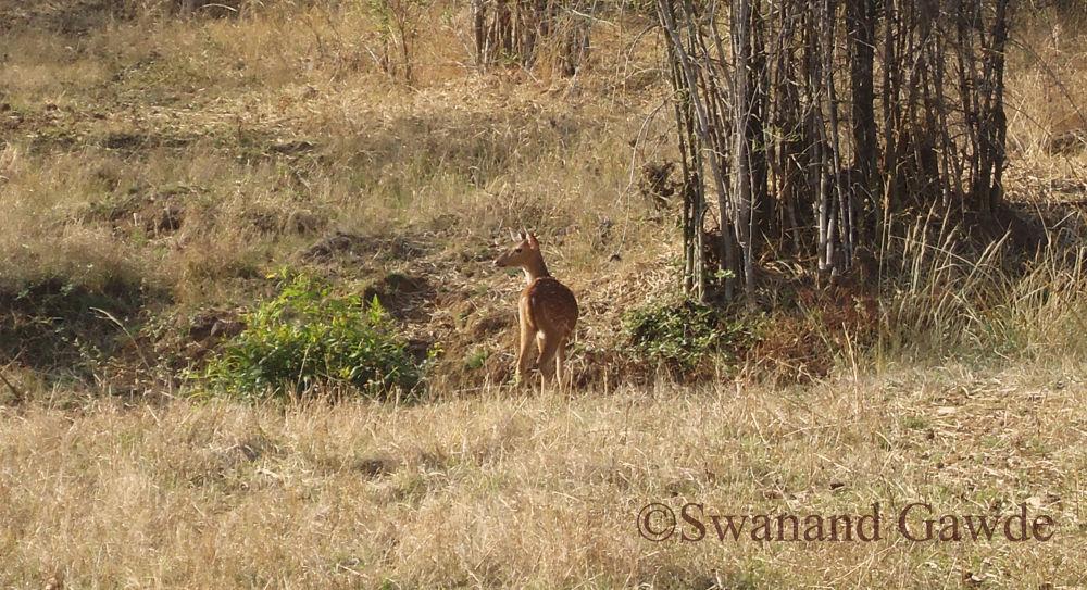 Spotted Deer by SwanandGawde