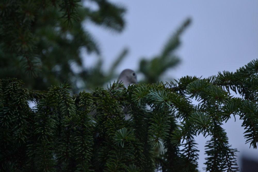 Pigeon tries to hide  by Lipták Laci