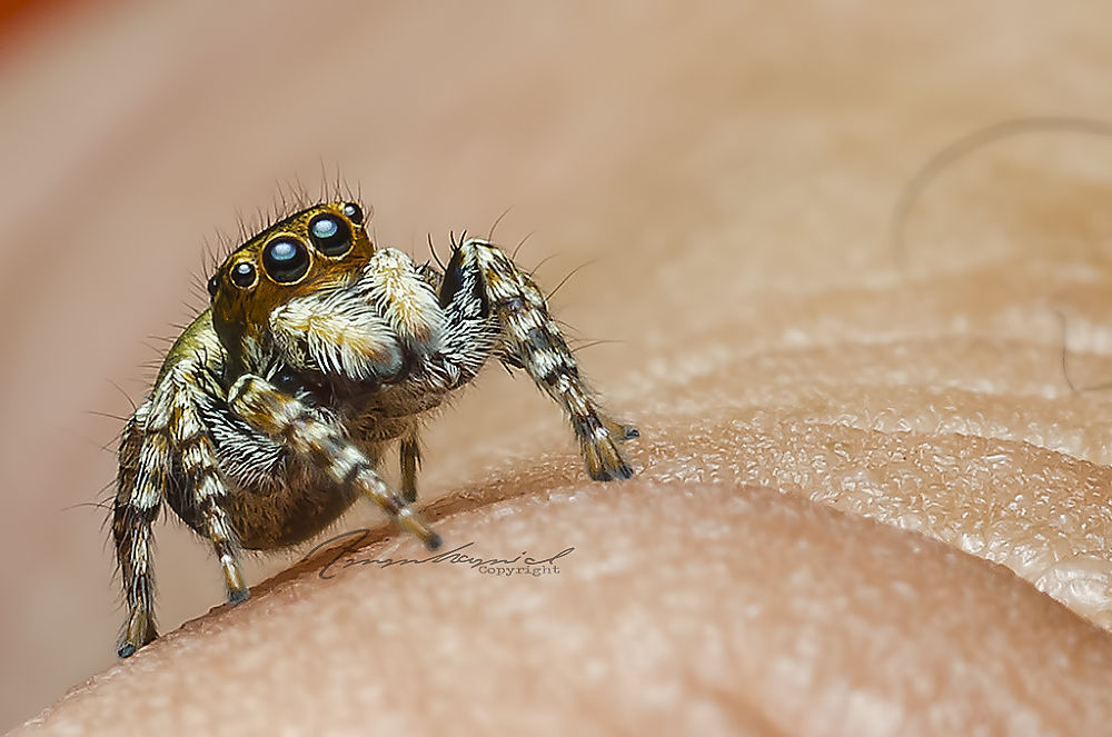I AM Jumping Spider by AmmHamid