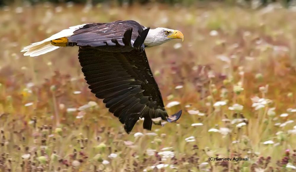 Bald Eagle..... by sanjeevagrawal