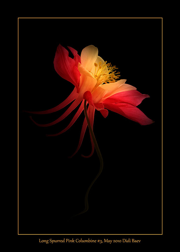 Long Spurred Pink Columbine #3 by didibaev