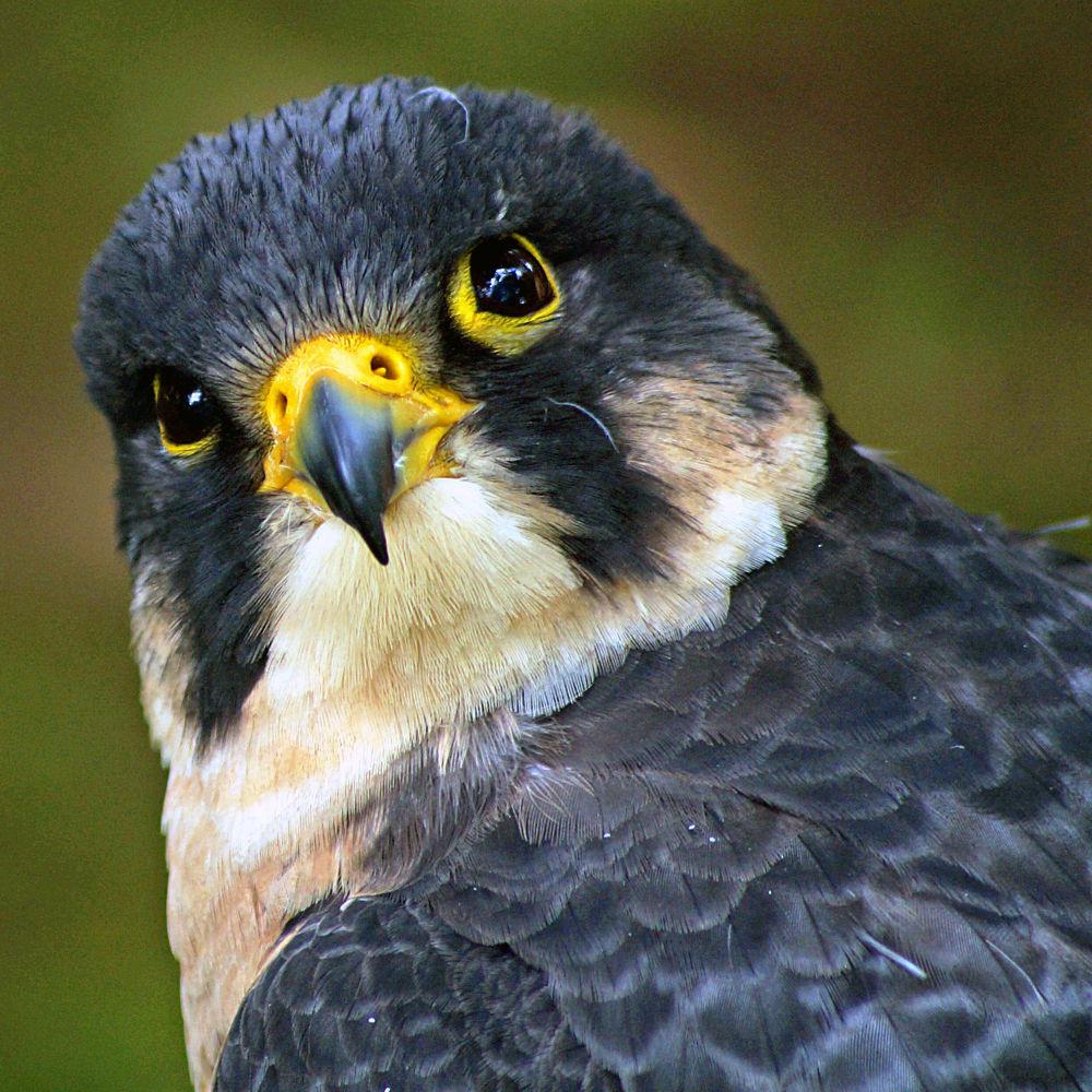 Peregrine Falcon by henryascoli