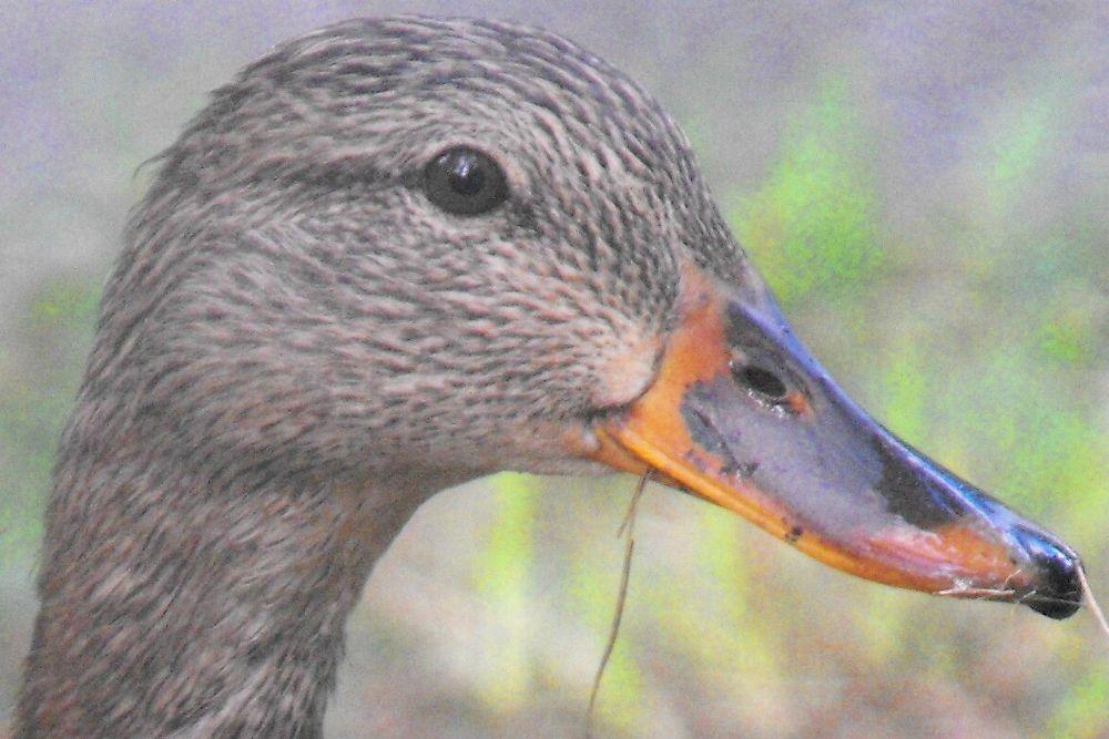 ducky1 by poolplayingirl