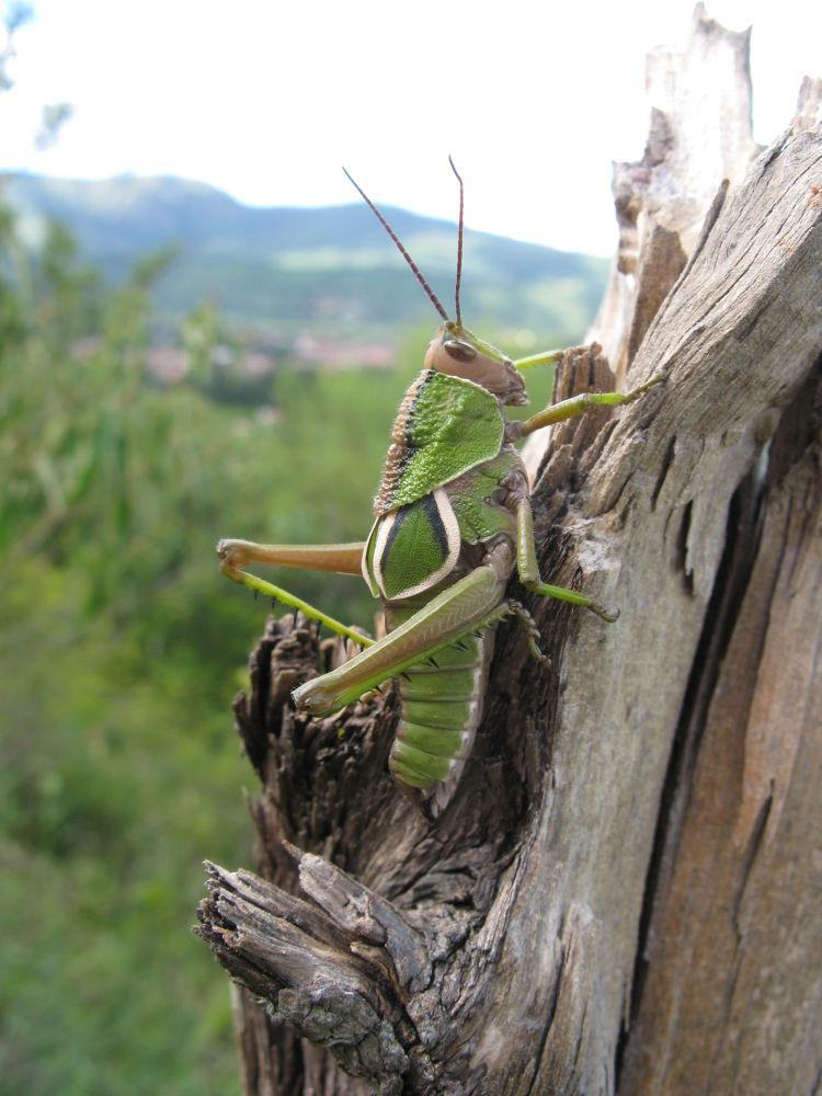 grasshopper Boliva by MHW