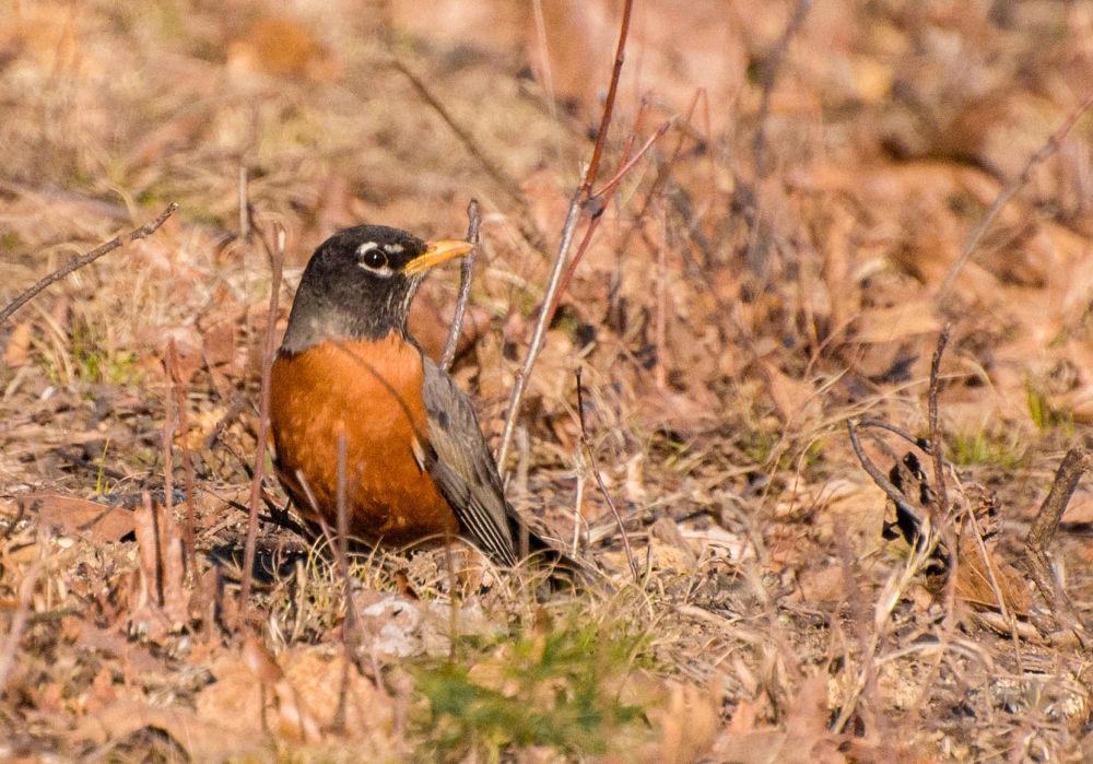 A Robin by Seth Hunter