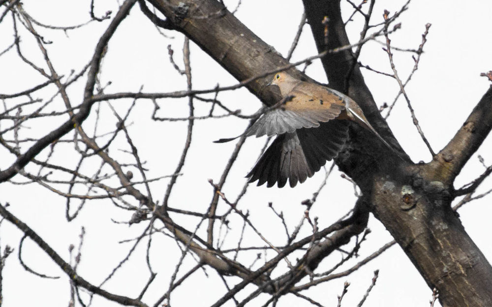 Mourning Dove by Seth Hunter
