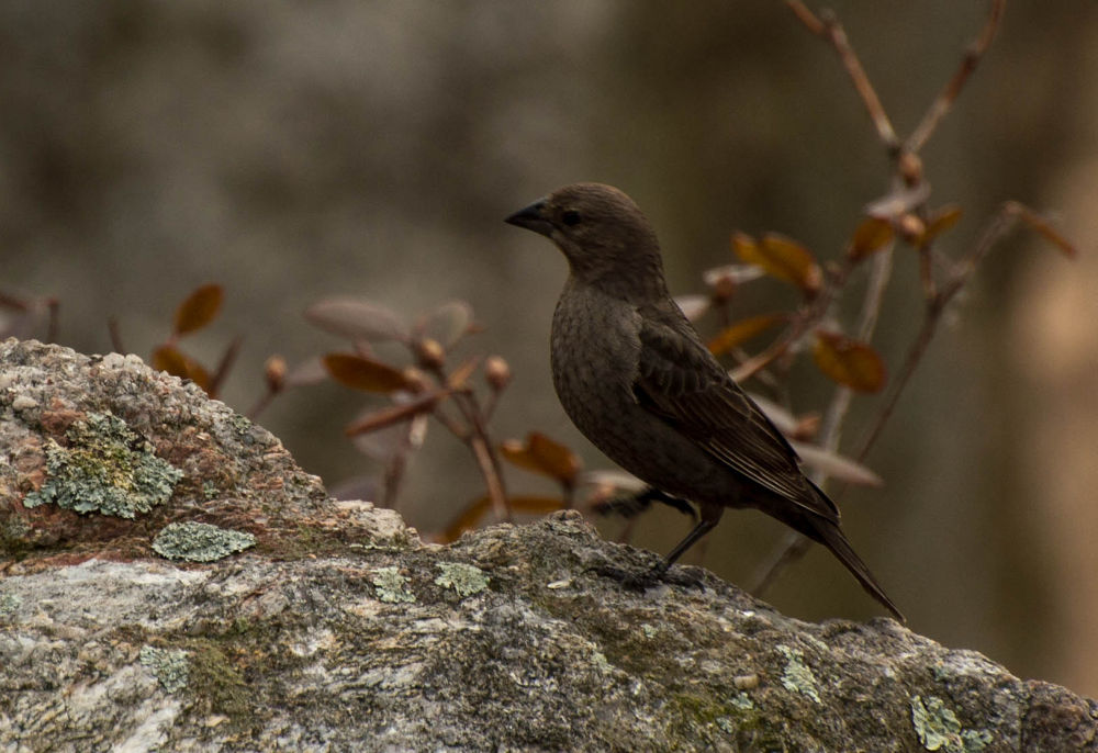 Female brown-headed cowbird by Seth Hunter
