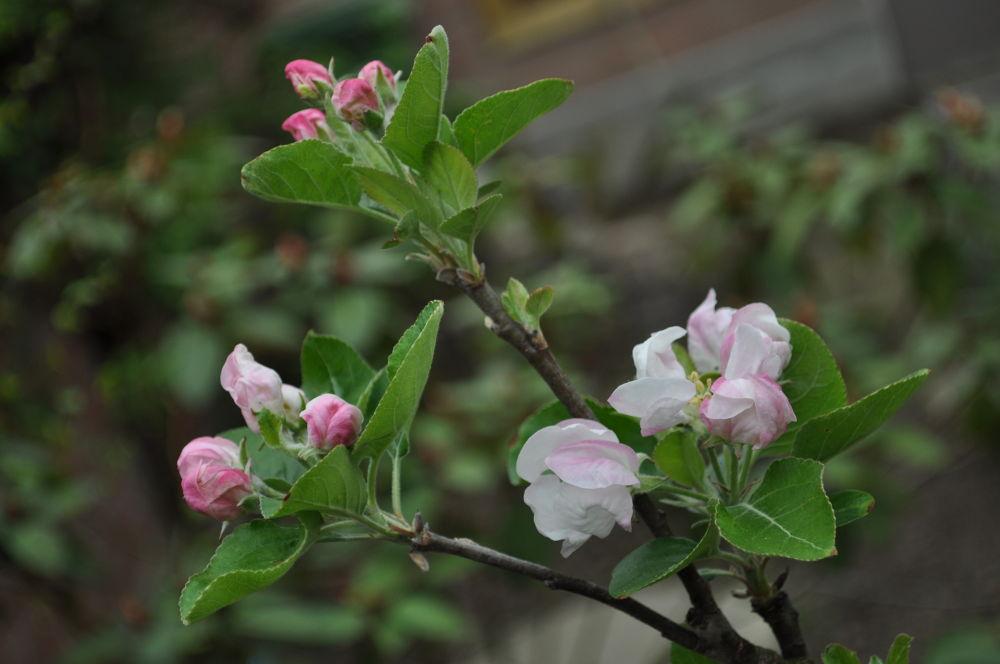 Dutch Apple Tree by Dani Jelle