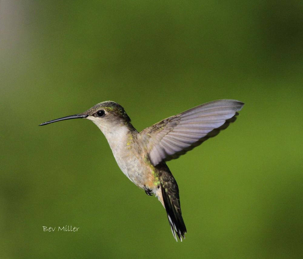 Ruby Throat Hummingbird... by Beverly