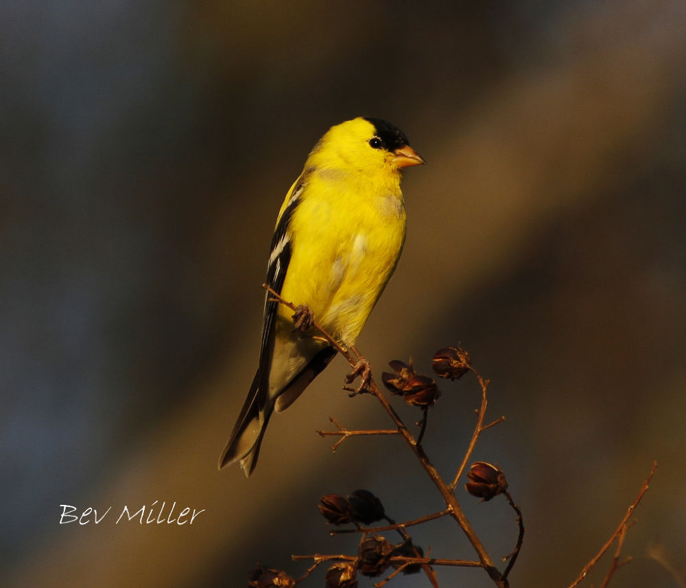Goldfinch... by Beverly
