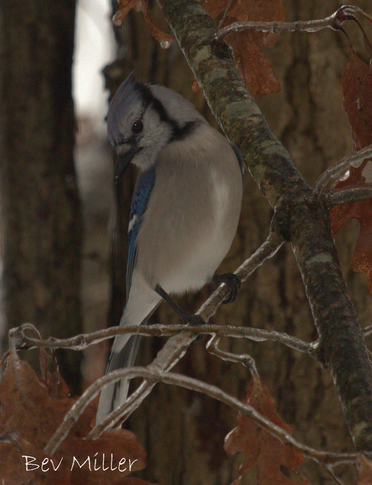 From the kitchen window, Blue jay... by Beverly