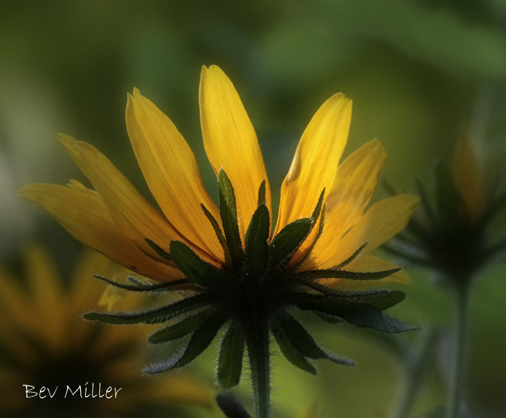 Black-eyed Susan by Beverly
