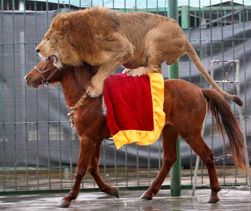 LionBAR0602_800x672 by lions