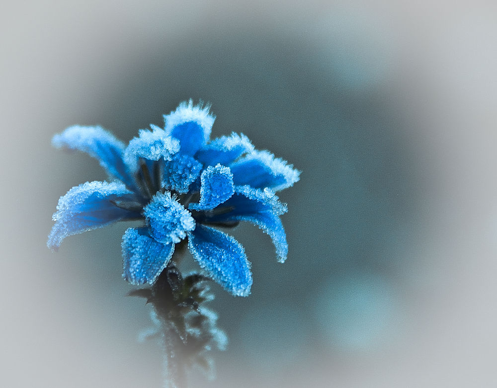 Ice flower by cito