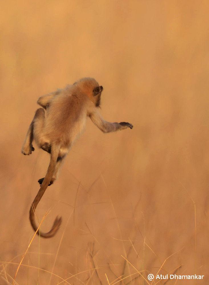 Flying Langur, Tadoba TR, India, Atul Dhamankar atultiger@rediffmail.com http://atulintadoba.blogspo by Atul Dhamankar