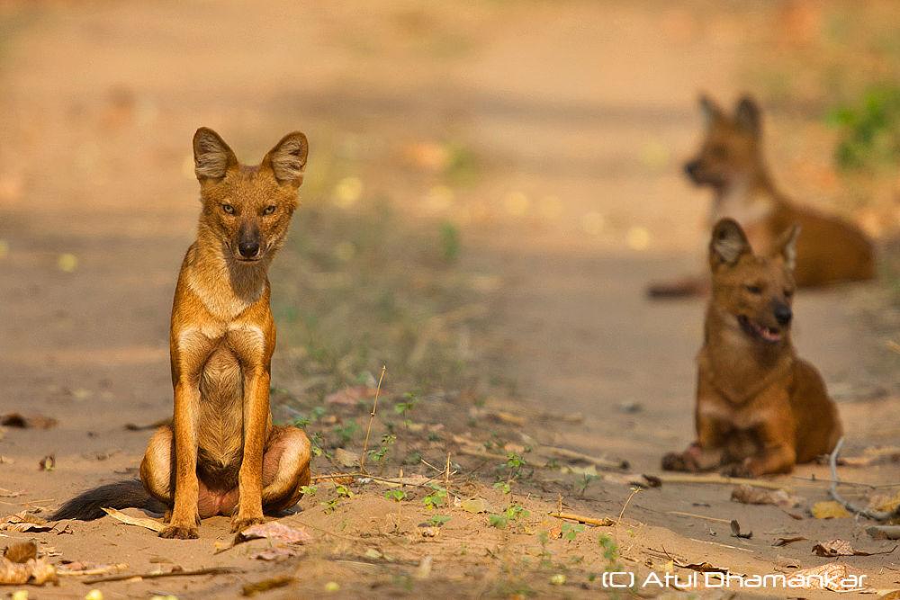 Pack of Dholes or Indian Wild Dogs shot at Tadoba TR, maharashtra, India.  by Atul Dhamankar