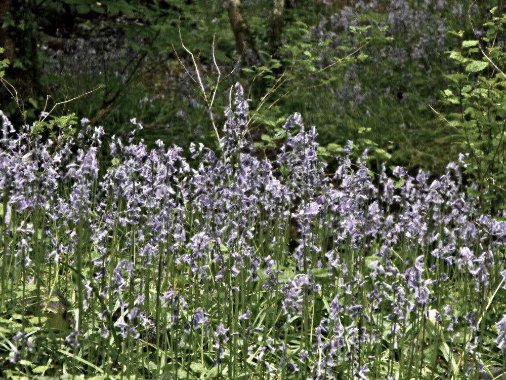 group of bluebells by michelle