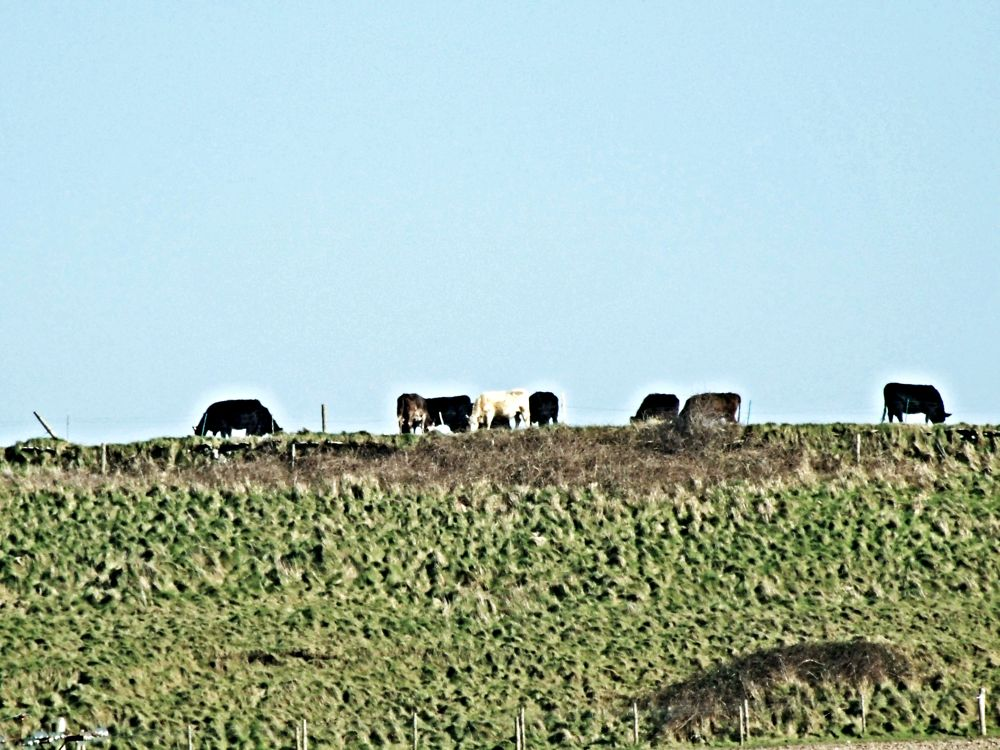 cattle grazing in the sunshine by michelle