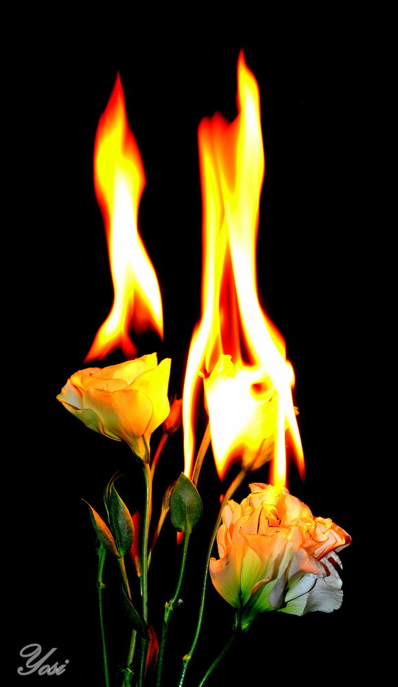 flower on fire by yosi atias