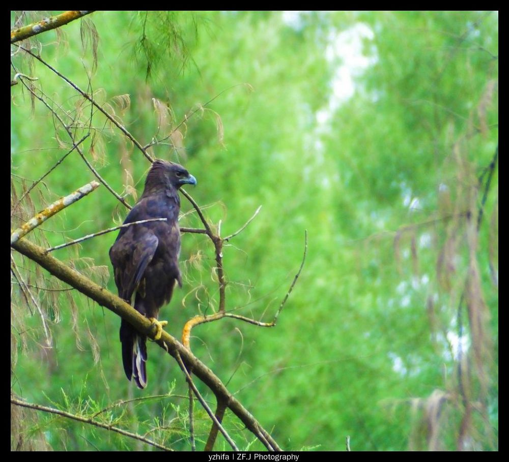 Photo in Random #birds #seahawk #zfjphotography #zfaviary