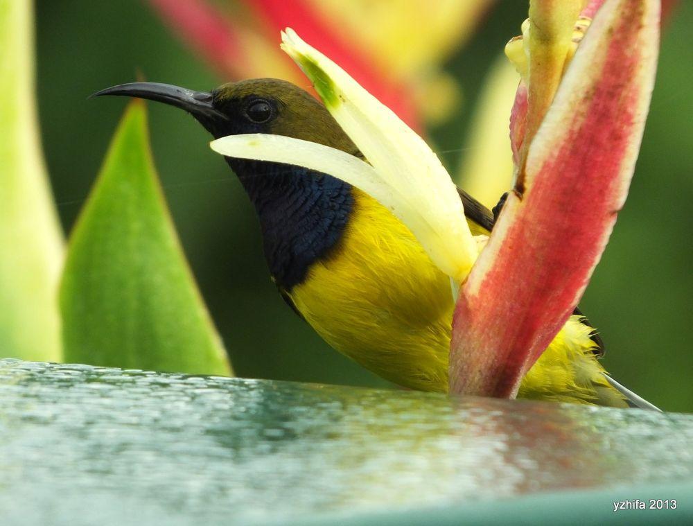 Sunbird by yzhifa