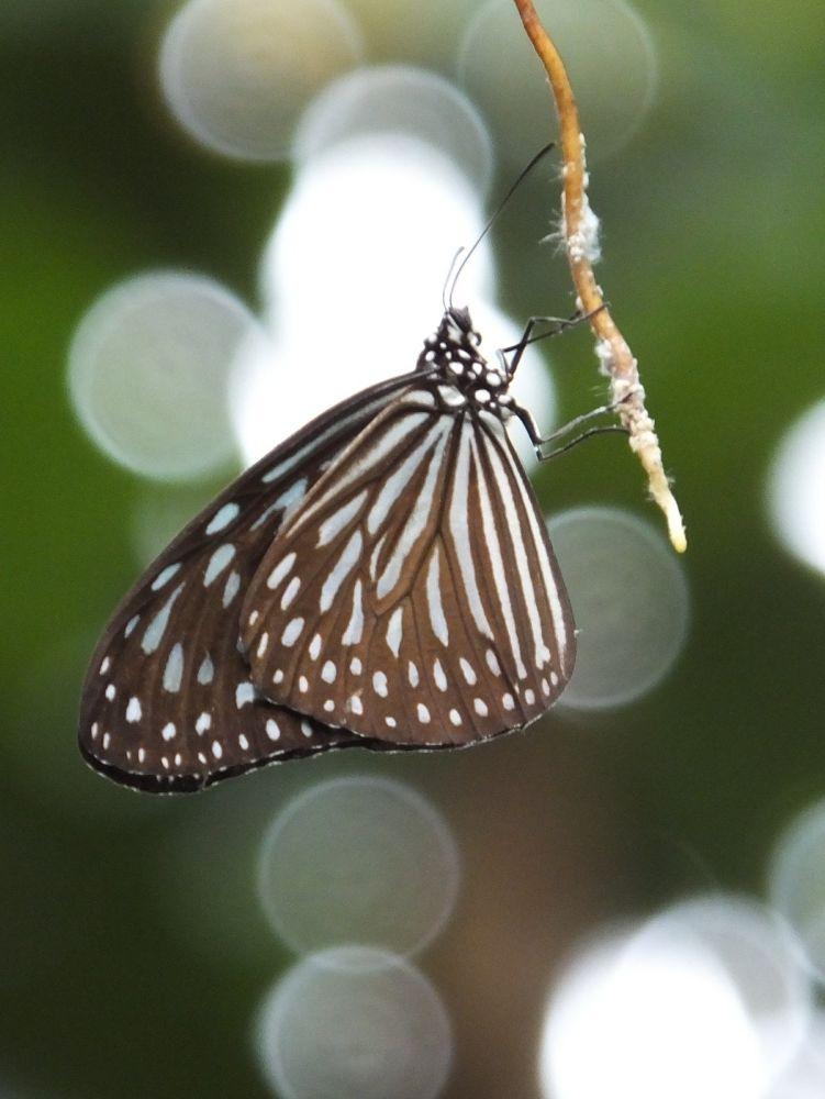 Butterfly by yzhifa