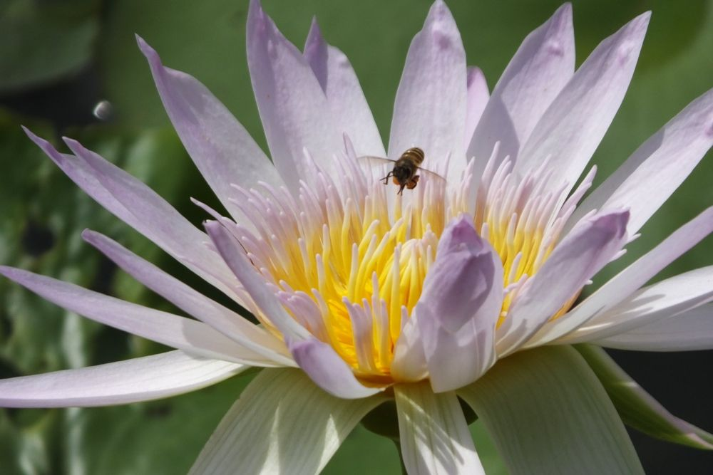 Bee on a lotus by yzhifa