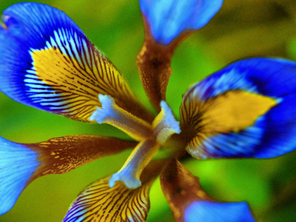 Iris cretensis  by Nikos Roditakis