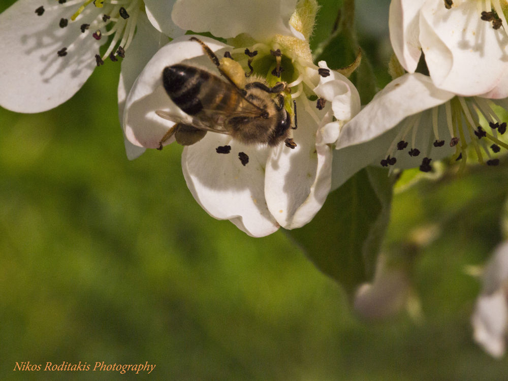 Honey bee visits a pear flower by Nikos Roditakis