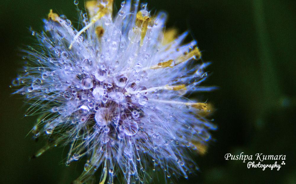 morning dew on the flower by Pushpa Kumara